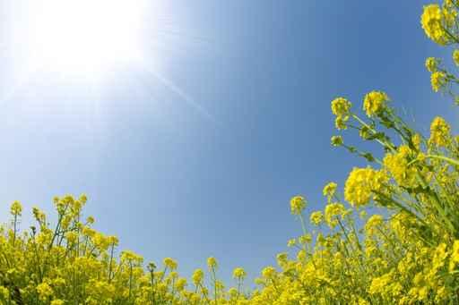 菜の花と青空と日差し